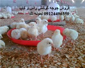 قيمت جوجه گوشتي درایران فروش جوجه گوشتی 09124496359 به بالاترین نقطه رسید قیمت لاشه مرغ منجمد