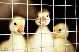 جوجه اردک قیمت اردک پکنی 09124496359 09128381978 09131392838 09131393868