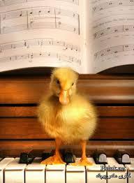 فروش اردک پکنی دهروزه قیمت قوغاز ده روزه خرید اردک 10 روزه