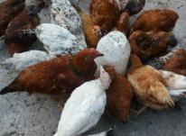 مرغ تخمگذار 09124439674