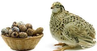 فروش خرید بلدرچین ژاپنی و تخم نطفه جوجه بلدرچین 09128381978 09124496359 09131393868