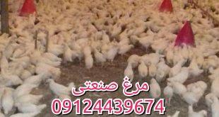 مرغ صنعتی تخمگذار 09124439674
