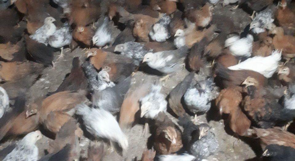 فروش مرغ تخمگذار 09128381978-09124439674