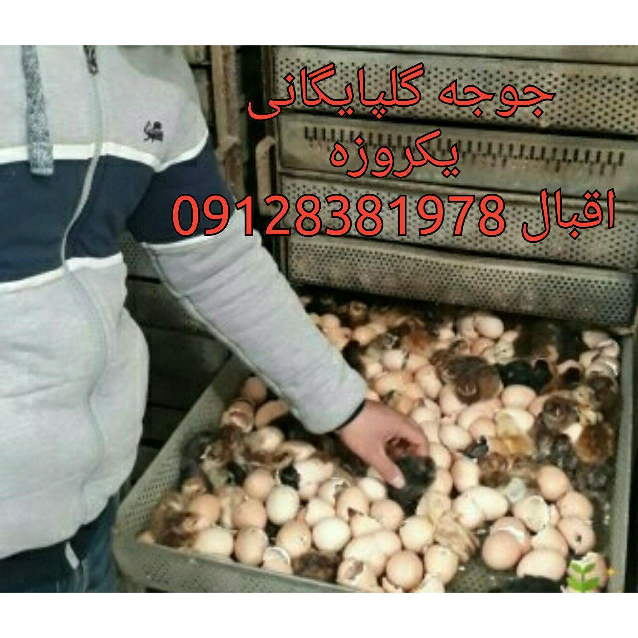 فروش جوجه بومی درایران 09124439674