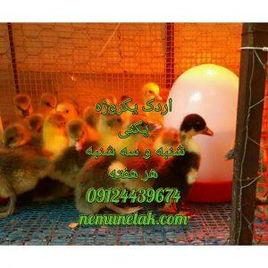 اردک پکنی وارمین صادرات جوجه گوشت اردک زنده قیمت روزه ارگ یکماه صغیر بیست روزه قیمت روزه ارگ یکماه 09128381978