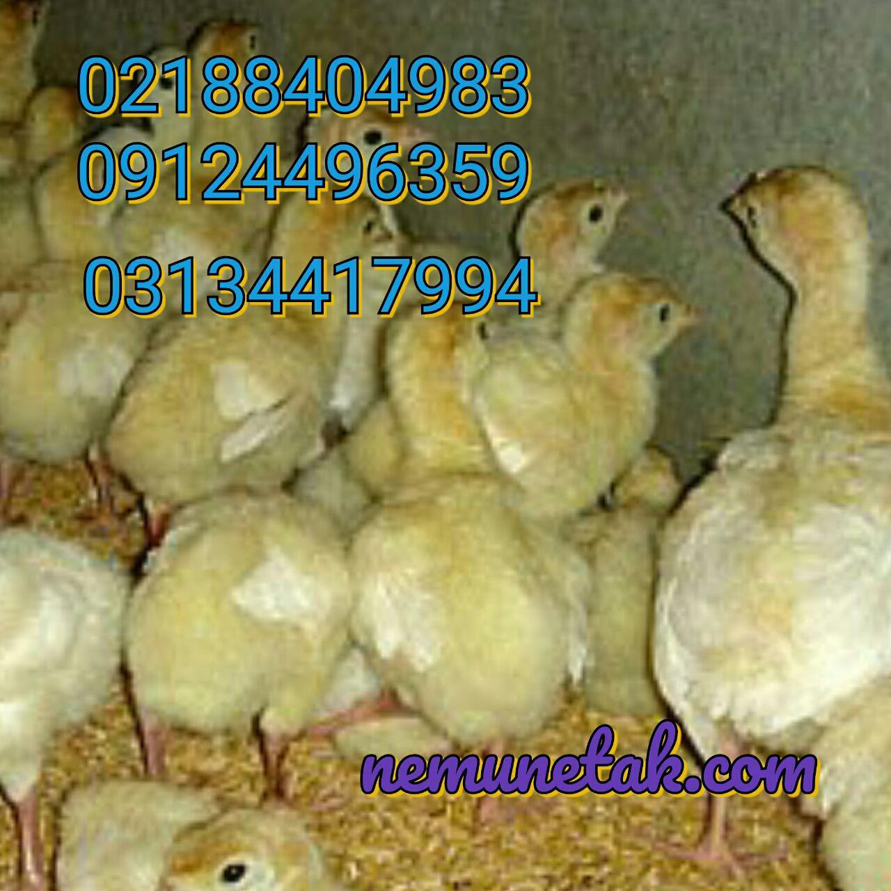 فروش بوقلمون بیوتی 09124496359