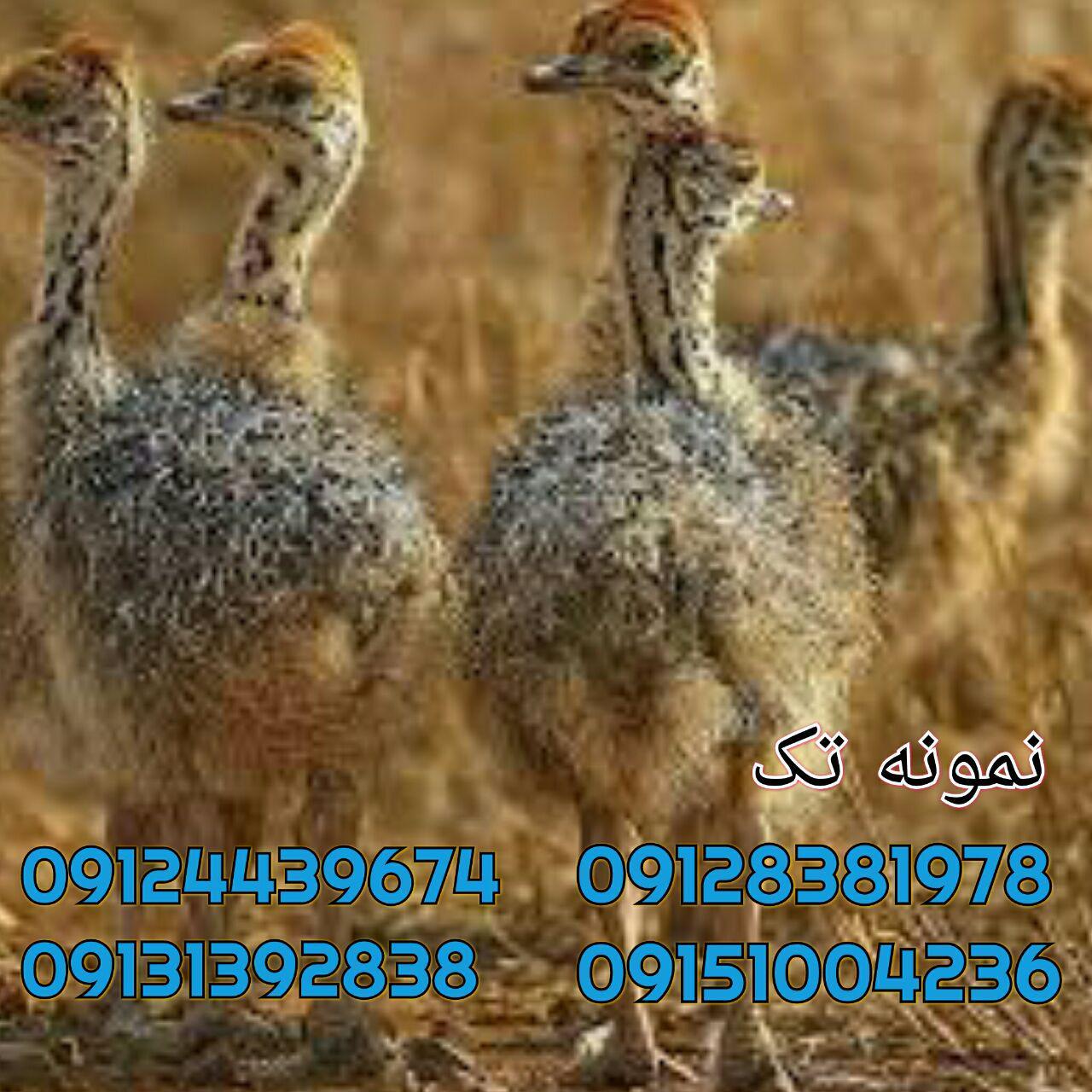 09128381978پیش فروش جوجه شترمرغ گوشت شترمرغ زنده پرورش