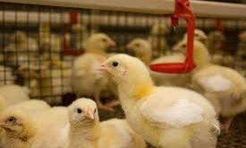 بازار جوجه گوشتی در اشفتگی09124439674