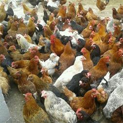 فروش مرغ سه ماهه 09124439674- نیمچه 3 ماه بومی09128381978
