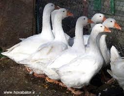 خرید اردک پرواری 09131392838
