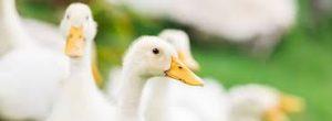 خرید اردک پرواری اردک محلی پکنی بومی قیمت روزه اردک زنده 09128381978