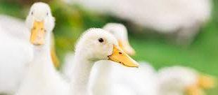 خرید اردک پرواری مسگوی اکرانی بومی سفید 09124496359 09128381978