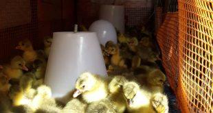نژادهای اردک 09124439674
