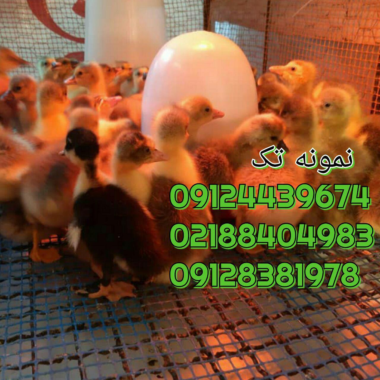 فروش اردک یک ماهه 09128381978 09131392838 09121393868 091324496359