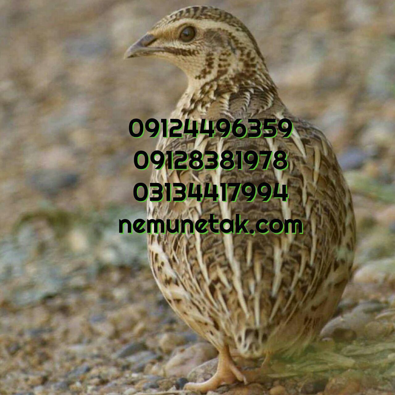 فروش بلدرچین تخمگذار 09124496359 09124439674 09131392838 خرید بلدرچین زنده09131393868