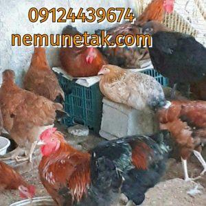 فروش مرغ گلپایگانی 09124496359 09124439674 صغیری جوجه مرغ یکماه09121392838 09131393868