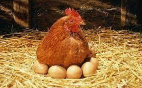 قیمت جوجه محلی جوجه گلپایگانی مرغ خروس مرغ تخم گذار 09131393868