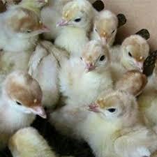 بوقلمون بیوتی پرواری خرید پرواری فروش گوشت 09124439674