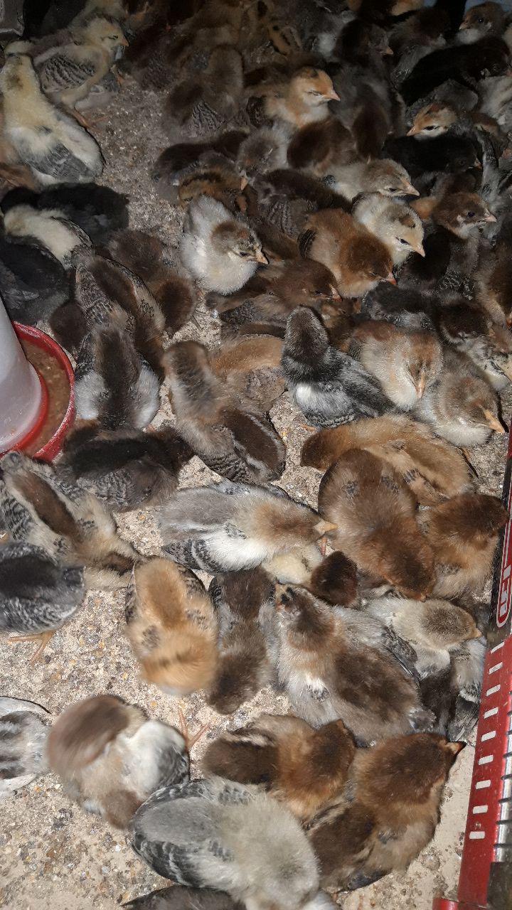 فروش جوجه یکروزه بومی به قیمت روز 09124439674 - 09128381978