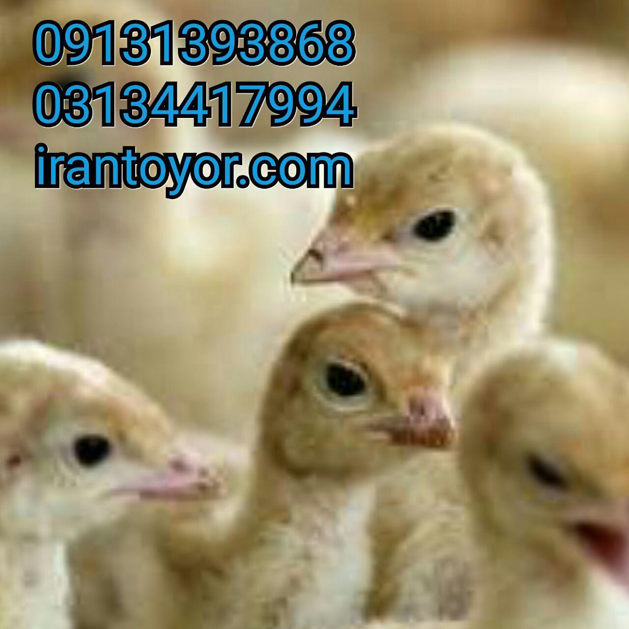 پیش فروش جوجه یکروزه بوقلمون09124496359 09131382838