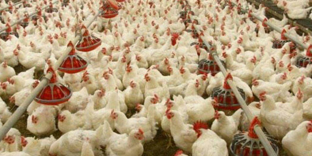 کاهش تقاضای مرغداران گوشتی، جوجه یک روزه را ارزان کرد