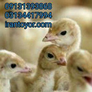 فروش جوجه یکروزه بوقلمون بیوتیسغیر زنده لاشه گوشت BUT9131392838