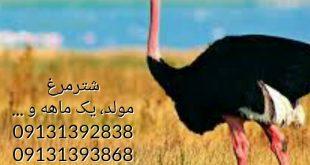 فروش جوجه شترمرغ 09124439674