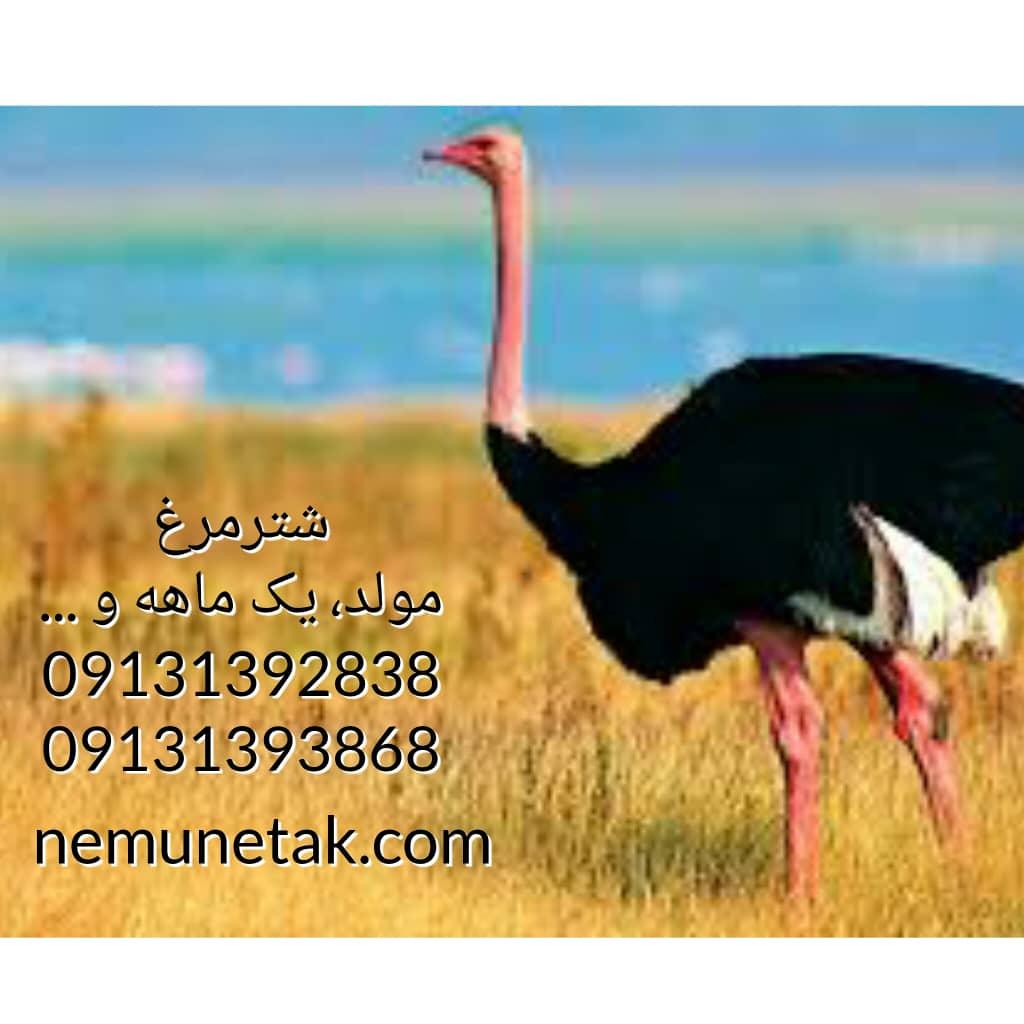 فروش جوجه شترمرغ فروش تخم نطفه دارشترمرغ قیمت شترمرغ تخم گذار 09124439674