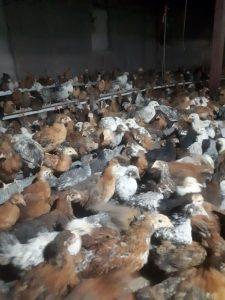 مرغ تخمگذار گلپایگانی خرید تخم گذار رنگی 09131392838 09124439674