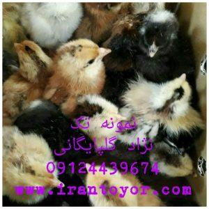 صادرات جوجه بومی به افغانستان قیمت جوجه رنگی فروش جوجه اصلی09124439674