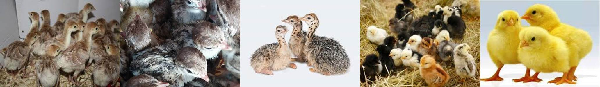 نمونه تک ، فروش طيور و پرورش جوجه بومي بوقلمون شترمرغ بوقلمون اردك09124439674 09124496359 09131392838 09131393868 09128381978