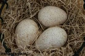 نکات مهم هنگام نوربینی تخم های بوقلمون