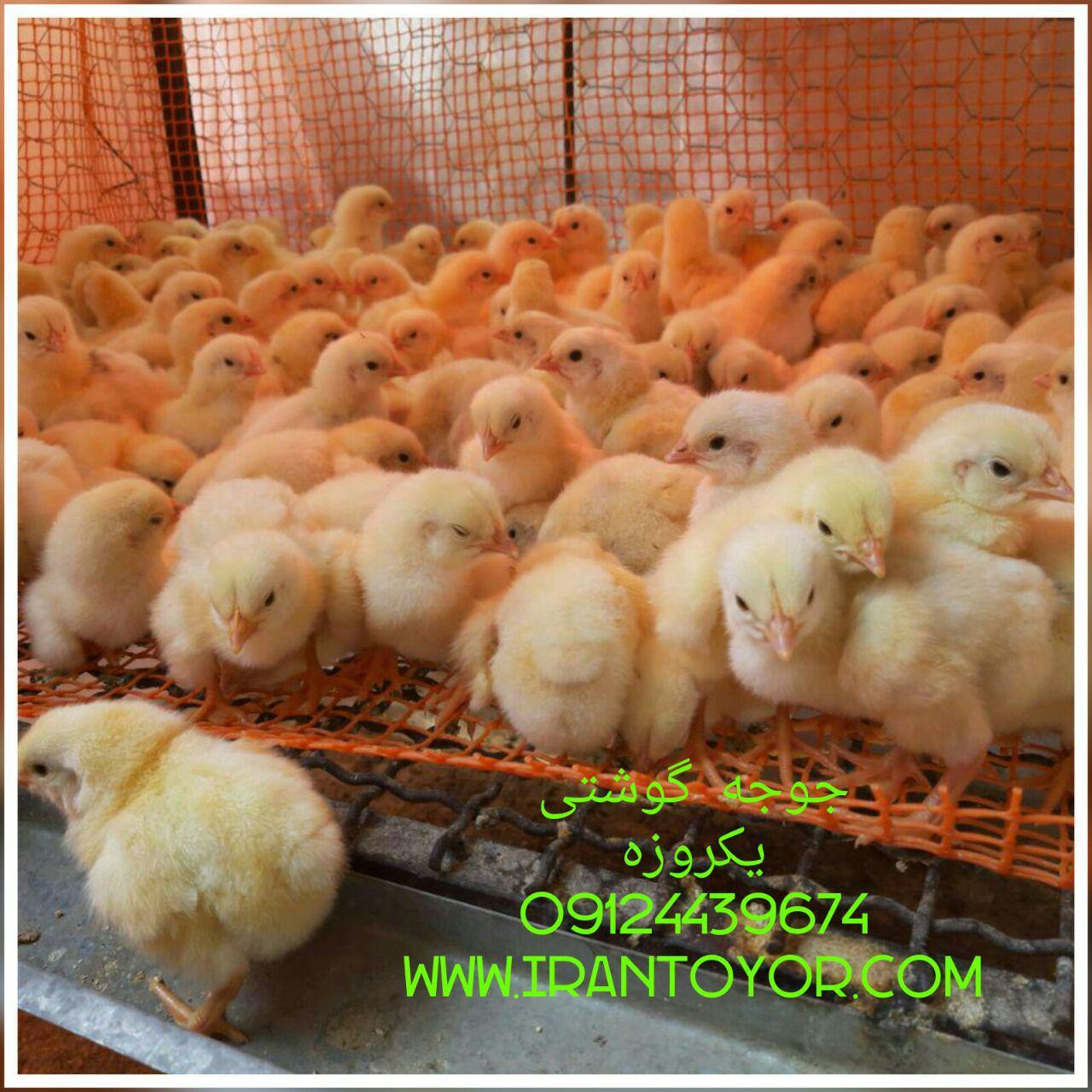 افزایش قیمت جوجه گوشتی 09124439674