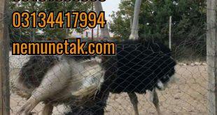 2جوجه کشی از شترمرغ09124439674
