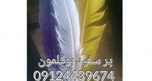 فروش پر بوقلمون 09128381978-09124439674