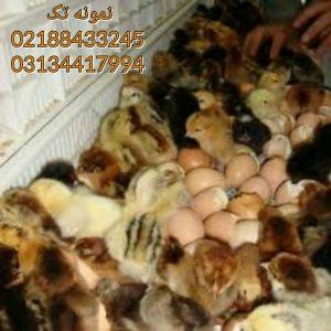 قیمت های روزانه طیور 09124439674 09131392838 گله کبک ماده قیمت 09128381978