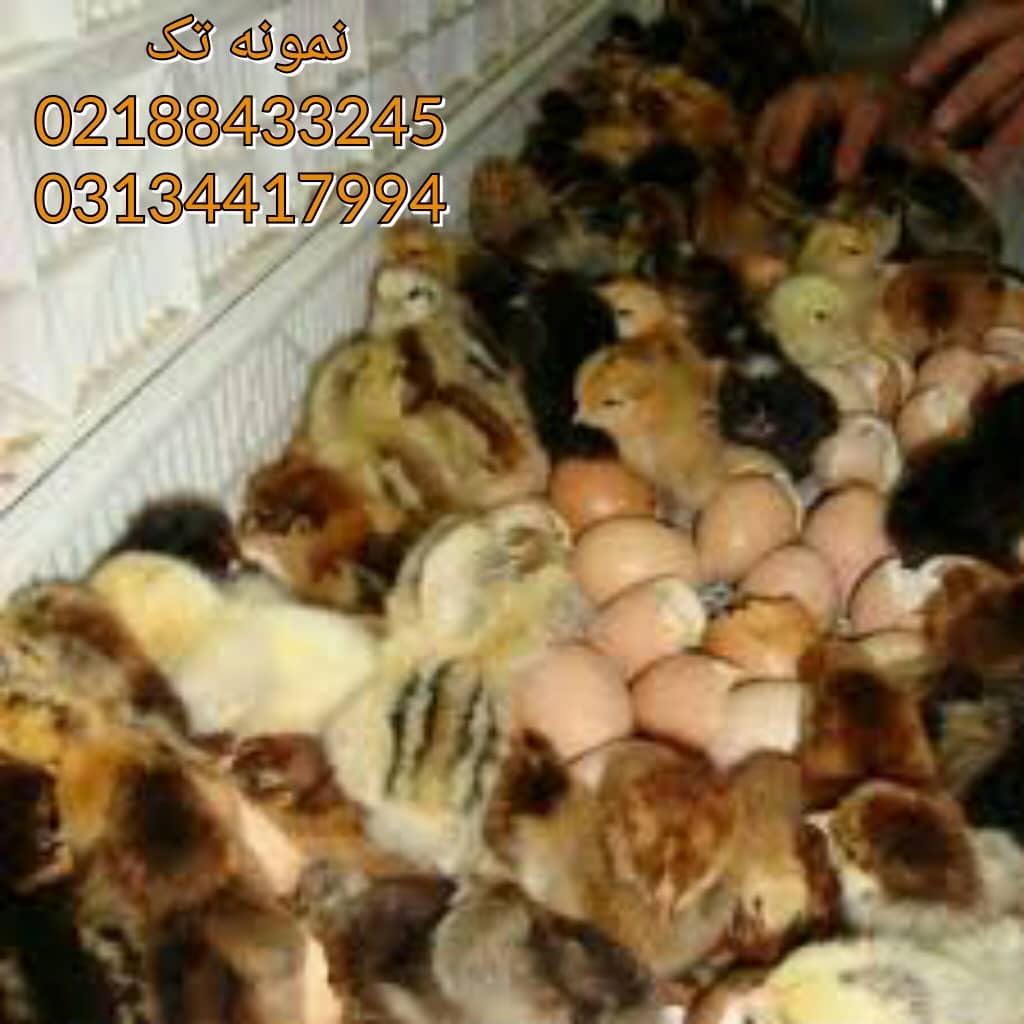 قیمت های روزانه طیور 09124439674 09131392838 09128381978