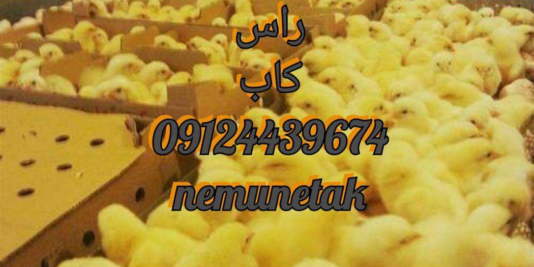 فروش جوجه گوشتی یکروزه 09124439674