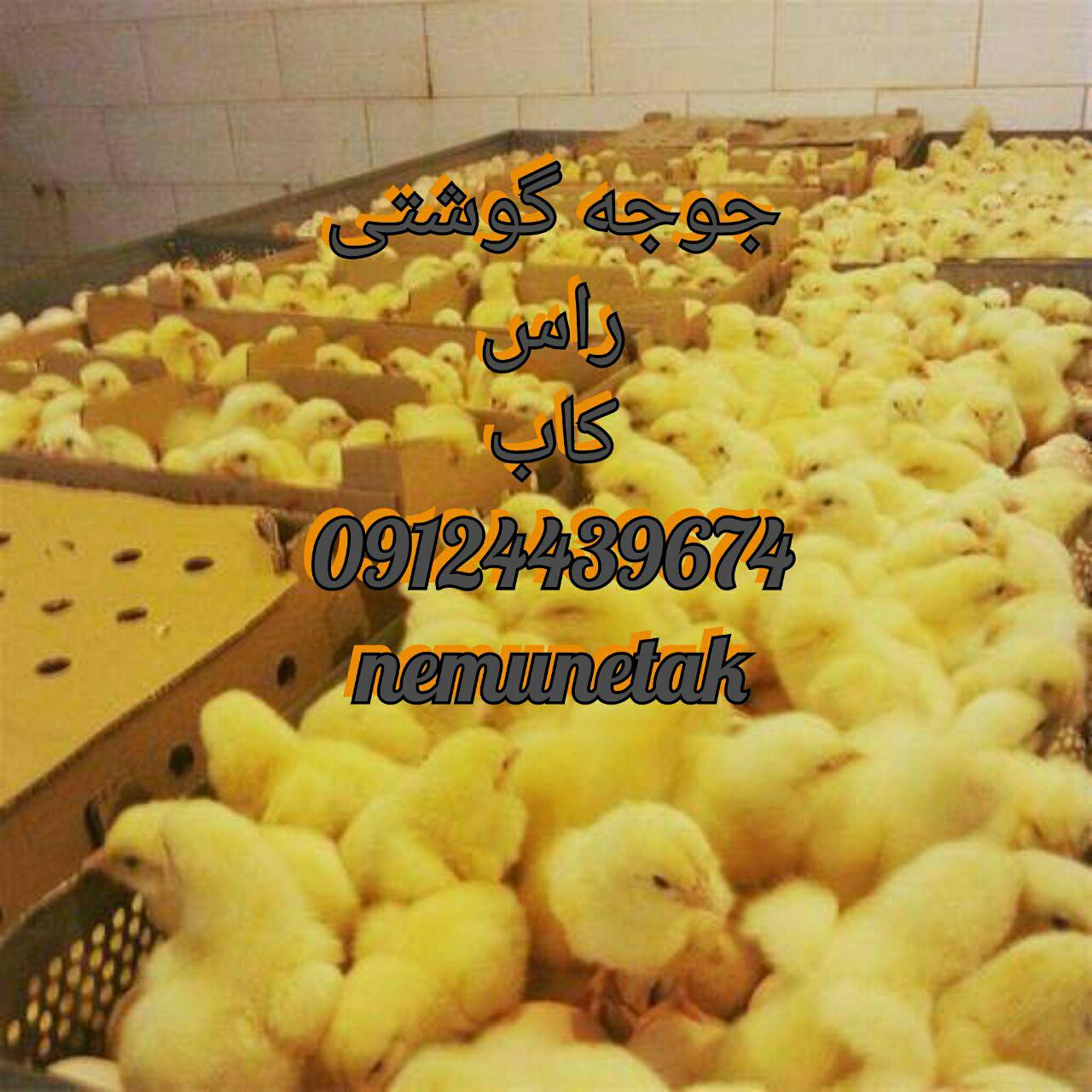 فروش جوجه گوشتی 09131392838 09131392838 09124496359 09124439674