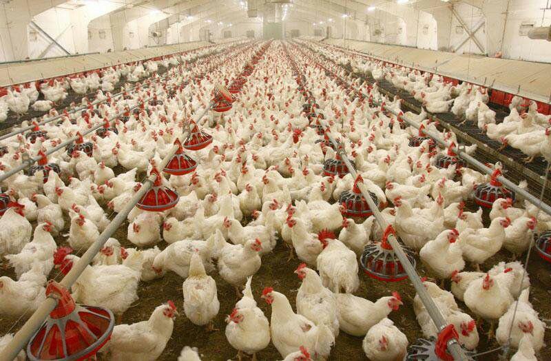 فروش مرغ تخمگذار شیور 09124439674-09128381978