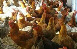 فروش مرغ گلپایگانی 09124439674-09128381978