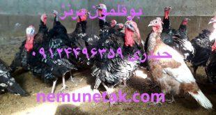 فروش بوقلمون بیوتی و برنز 09124496359 حیدری