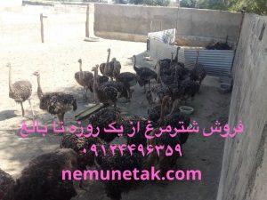 تامین نهاده برای پرورش دهندگان شتر مرغ 09124496359 - 09124439674