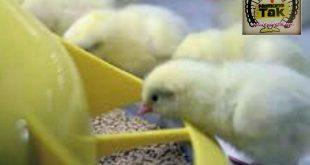 فروش ویژه جوجه مرغ گوشتی
