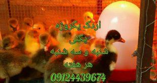 اردک پکنی وارمین جوجه اردک اسرایلی 09128381978