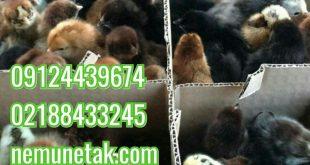بومی دورگ تخم گذار 09124496359 09124439674 09128381978 09131393868 09131392838