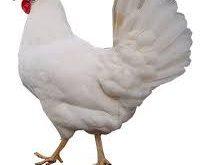 فروش مرغ تخمگذار صنعتی 09124439674-09128381978