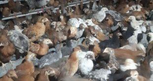 مرغ تخمگذار گلپایگانی 09124439674